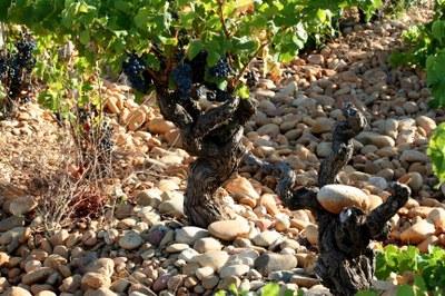 Vigne de Chateauneuf du Pape